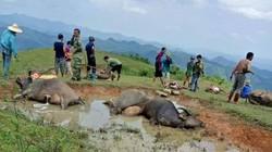 Lạng Sơn: Một hộ dân có 9 con trâu bị sét đánh chết, mất 200 triệu