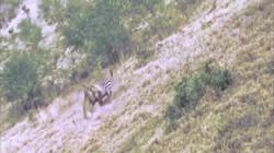 """Video: Sư tử """"làm thịt"""" ngựa vằn, không ngờ bị con mồi kéo lê thảm hại"""