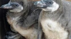 Cặp đôi chim cánh cụt nổi điên, giết chết đồng loại vì mất con