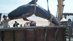 Xác cá voi dài hơn 3m, nặng gần một tấn dạt vào bờ biển Hà Tĩnh