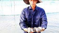 """Khánh Hòa: Nuôi """"thần dược"""" của biển cả, bán hàng trăm đô 1 ký"""