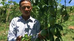 Cựu cán bộ nghỉ hưu về trồng chanh leo lãi hàng trăm triệu đồng