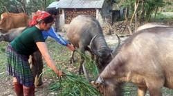 Dân ở nơi này ngày càng có tiền nhờ nuôi trâu, trồng dược liệu