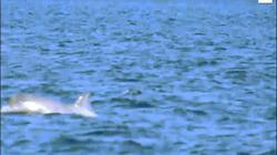 Lần đầu tiên quay được cá voi sát thủ trắng cực hiếm ở Canada