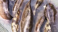 Kiếm tiền tỷ nhờ cho nuôi cá mú chung nhà với ốc hương