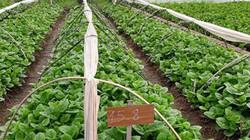 """Nông dân """"bắt tay"""" doanh nghiệp trồng rau theo chuỗi"""
