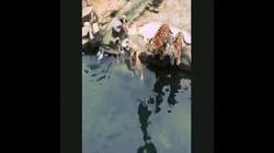 Video: Bầy hổ tung người lên không, với miếng thịt treo trên hồ nước