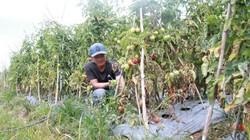 Lâm Đồng: Hơn 3ha cà chua sắp được thu hoạch chết héo, nghi bị phá hoại