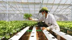 Trồng rau thủy canh bán sang Hàn Quốc với giá 50.000 đồng/kg