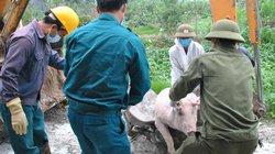 Hội đồng hành nông dân chống dịch tả lợn châu Phi