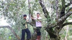 Dân vùng cao tiết lộ bí quyết bón phân cây sơn tra quả sai lúc lỉu