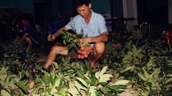 Những người không ngủ, thức xuyên đêm vặt lá, bẻ vải ở Lục Ngạn