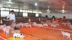 """Trang trại lợn khổng lồ """"nói không"""" với dịch tả lợn châu Phi"""