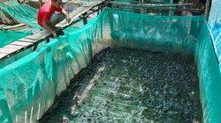 Nuôi bạt ngàn loài ếch Đài Loan ở dưới sông, lời 90 triệu đồng/vụ