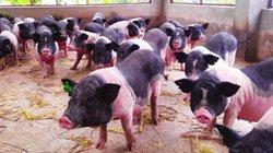 600 lợn ỉ đẹp thế này mà chưa bán được, Móng Cái kêu gọi tiêu thụ