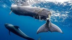Cá voi con đuôi bị hoại tử gần đứt lìa và lời cảnh báo tới con người
