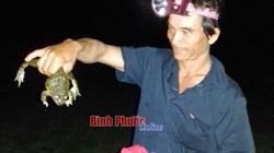Biệt tài săn ếch đồng, cua đồng béo múp ban đêm của dân Bình Phước