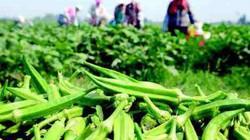 """Nông dân trồng """"vua các loài rau"""", kiếm trăm triệu mỗi năm"""