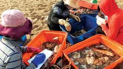 """Đáng ngại: Săn bắt vô tội vạ, """"sâm đại dương"""" ngày càng khan hiếm"""