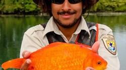 Chưa từng thấy: Bắt được cá vàng khổng lồ dài hơn 35cm