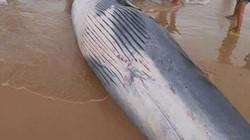 Cá voi dạt vào Khánh Hòa là loại chuyên gây sự với cá voi sát thủ?