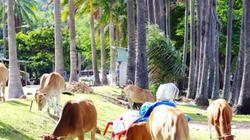 Kiên Giang: Bỏ rơi Hòn Phụ Tử, đàn bò nhởn nhơ ở khu du lịch