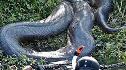 """Ly kỳ đàn rắn hổ mây """"cả bầy chục kg"""" ở hòn đảo lớn nhất Việt Nam"""