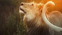 Nhân viên khu bảo tồn Nam Phi vuốt ve sư tử như mèo con