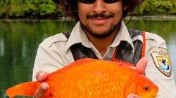 Mỹ: Thả cá vàng xuống toilet, trôi ra biển to như con chó