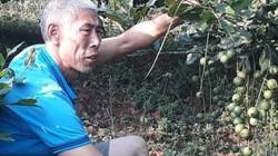 Lai Châu: Loài cây ra quả sai như sung, ăn vài hạt khỏe cả người