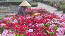 Đồng Tháp: Hoa dừa cạn siêu bông siêu đắt nhiều người vẫn săn đón