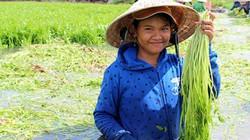 Trăm người dầm nước ở làng trồng rau cần lớn nhất Đồng Nai