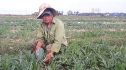 Quảng Trị: Hạn hán khốc liệt, dân biến đất nứt nẻ thành ruộng dưa ngọt