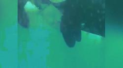 Video: Lần đầu ghi lại hành động thân mật chưa từng thấy của cá voi sát thủ