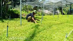 """""""Kỳ tích"""" phủ xanh vùng mặn từ loài rau dại bán chạy ở Cà Mau"""