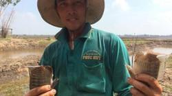 Anh Hai Lúa miền Tây là tỷ phú vì có cánh đồng trù phú 30ha