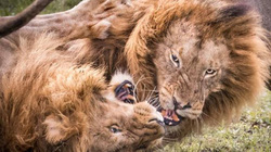 Sư tử kịch chiến tranh quyền bá chủ đồng cỏ hoang dã