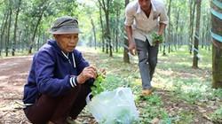 """Kỳ thú: Lang thang trong rừng cao su săn rau """"của nợ"""" kiếm bộn tiền"""