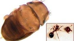 Phát hiện loài ruồi nhỏ hơn hạt muối