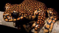 Ngắm loài ếch được đặt theo tên hoàng tử Anh