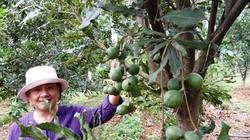 Lâm Đồng: Đổ xô trồng mắc ca bằng giống trôi nổi