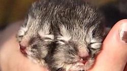 Tận mắt nhìn chú mèo 2 mặt có 24 ngón chân