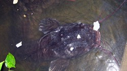 """""""Lão"""" cá trê dài hơn 1,6 mét trong hồ nhà dân"""