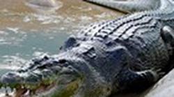 Cho cá sấu ăn, bị cắn đứt lìa tay trái
