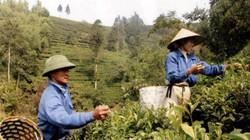 Thái Nguyên: Giá thu mua chè tăng 10.000 đồng/kg