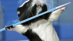 Chuột cũng bơi lội, chạy vượt rào… tại Olympic