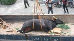 Gặp sự cố, bò tót đại náo sân bay đã chết