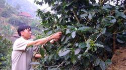 Trồng cà phê chè thế nào cho hiệu quả