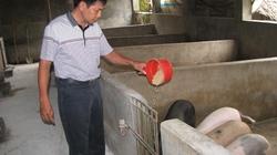 Thái Nguyên: Thú y bỏ mặc lợn ốm chết?