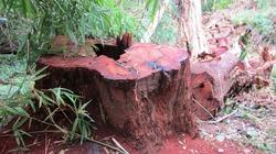 Đăk Lăk: Khởi tố 15 lâm tặc cưa trộm gỗ giáng hương